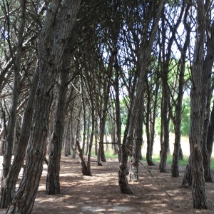 Bosque energético, Miramar
